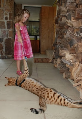 Savannah Cat: The World's Tallest Cat ~ Damn Cool Pictures