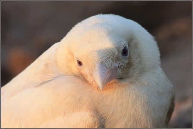 the white crow - photo #11