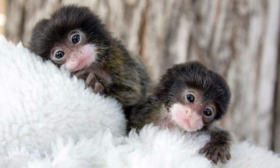 Khan Geee: Finger Monkeys - The cutest living creatures in ...