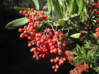 Toyon (Heteromeles arbutifolia) aka Christmas berry, California holly, holly wood