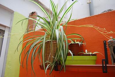 Las plantas de lara hijuelos de la cinta - Cinta planta ...