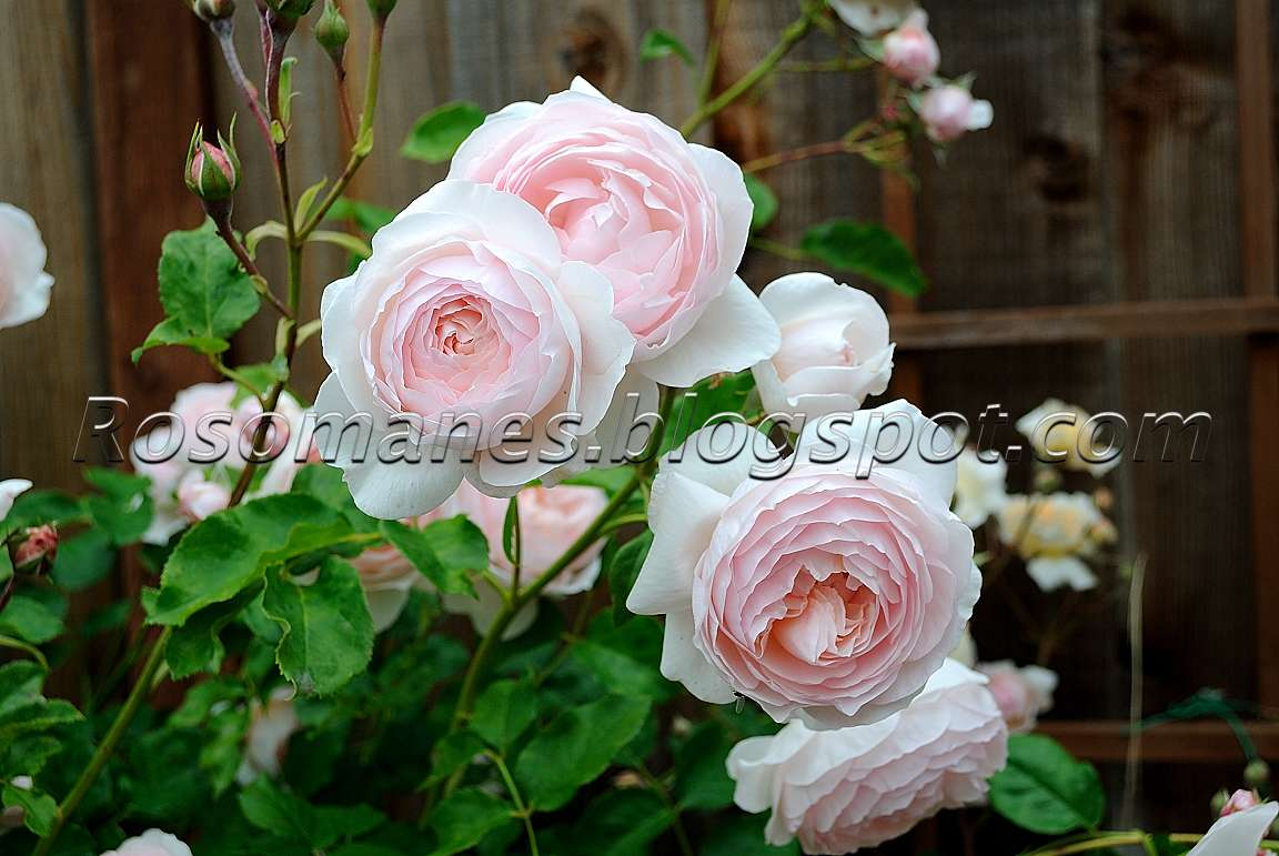 A Rose Is A Rose My English Roses