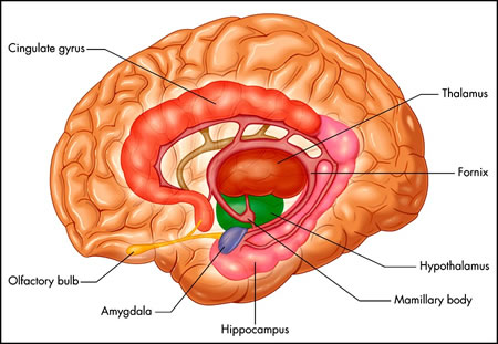 Insula Gehirn