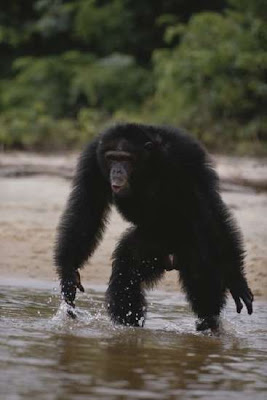 Chimpanzees Are NOT Pets! - The Intersection : The Intersection