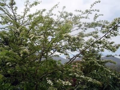 espino albar (crataegus oxycanta)