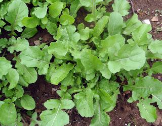 rúcula (Eruca Sativa)