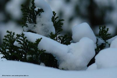 Hecke im Winter. Detail einer verschneiten Hecke
