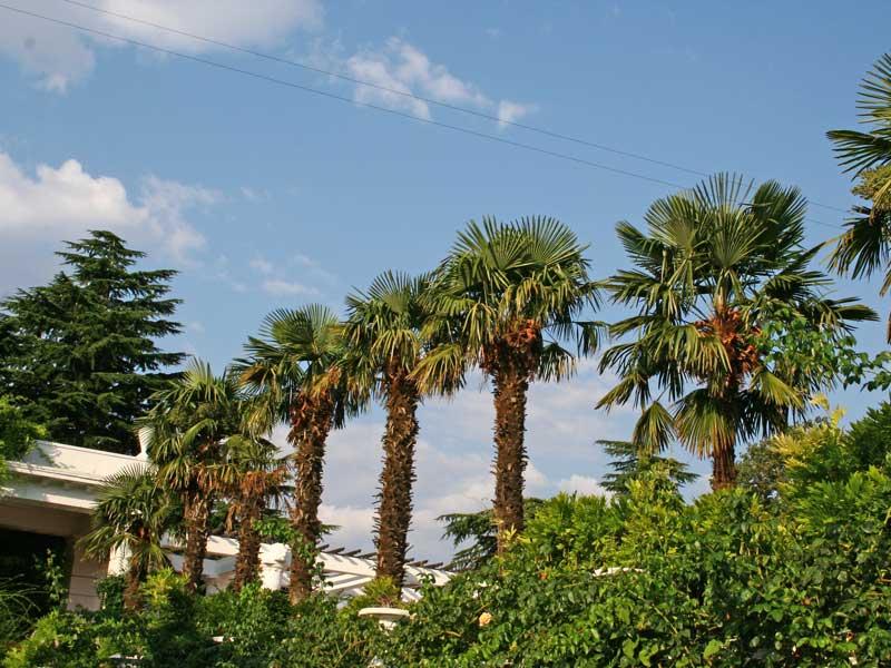 фото пальмы крыма просто