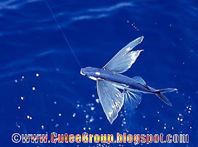 Flying Fish ( Amazing Fish )