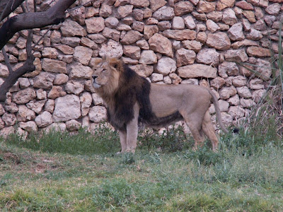 A Lion With A Huge Head And Mane