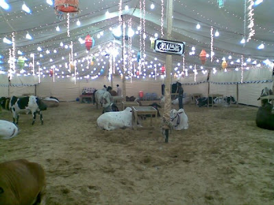 Cows in the market for this Eid-ul-Azha