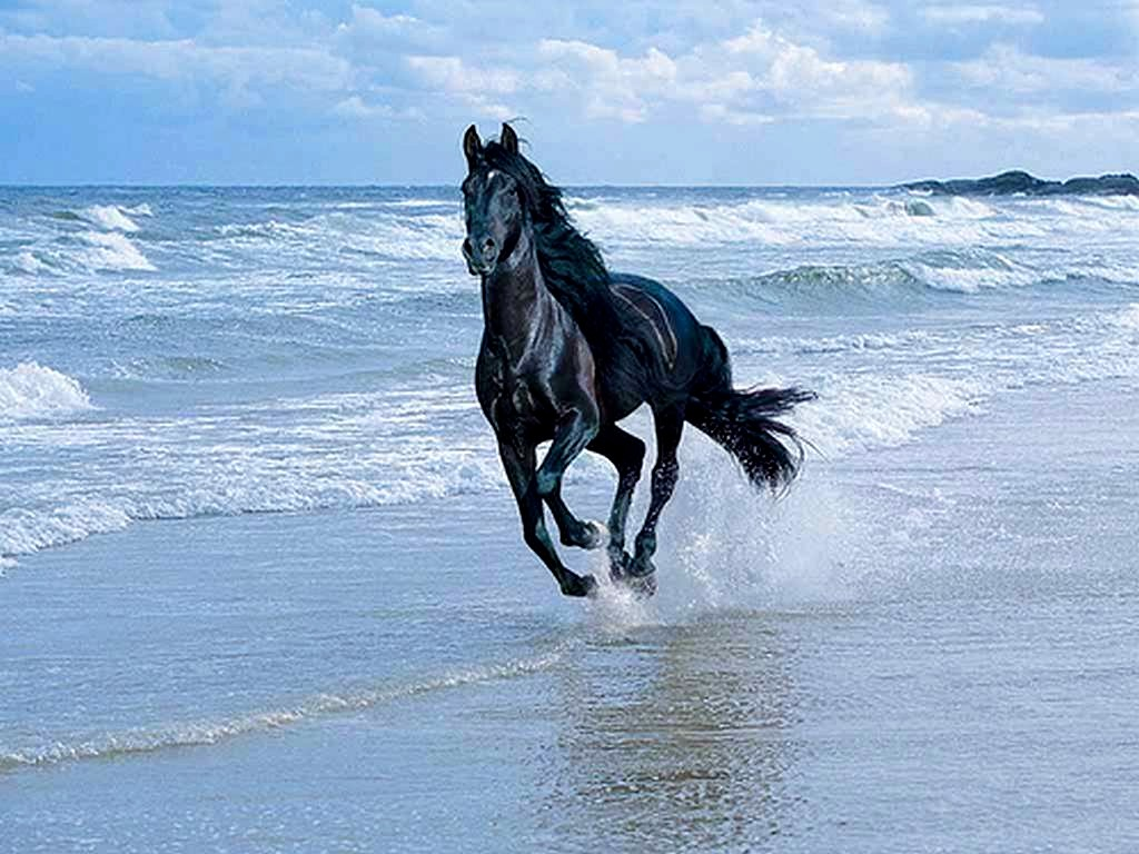 Cavallo Arabo Nero E Splendido