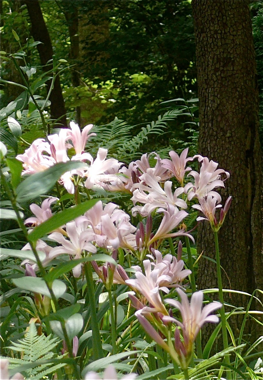 PlantFiles Pictures: Surprise Lily, Magic Lily