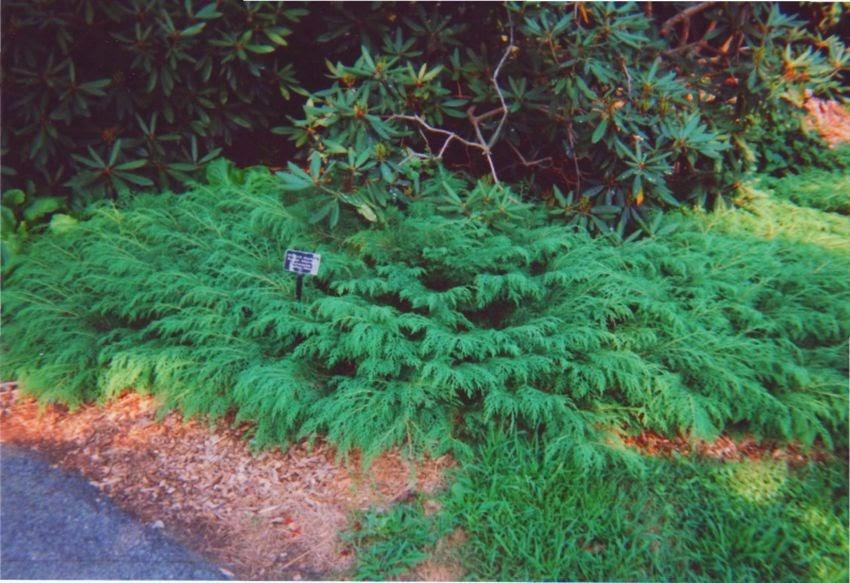 Future Plants by Randy Stewart: Siberian Carpet Cypress