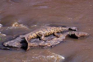 cocodrilo del Nilo Crocodylus niloticus reptiles de África