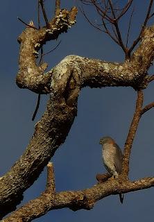 azor azulado Accipiter fasciatus