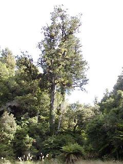 pino rojo Daccrydium cupressinum