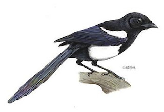 urraca de pico negro Pica pica