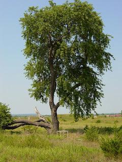 cerezo negro Prunus serotina