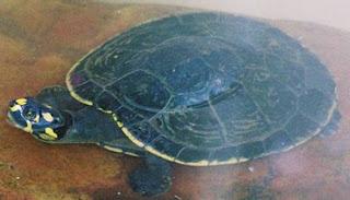Tortuga caricaya Podocnemis unifilis