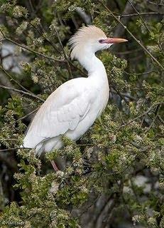 garcilla bueyera Bubulcus ibisd