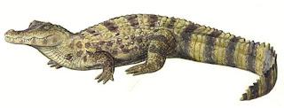 caiman de anteojos Caiman crocodylus reptiles de América