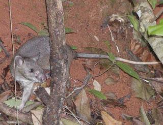 rata gigante de Gambia Cricetomys gambianus