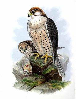 halcon borni Falco biarmicus presas del halcon borni