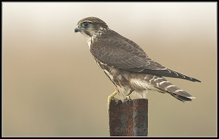 esmerejon Falco columbarius Falconiformes