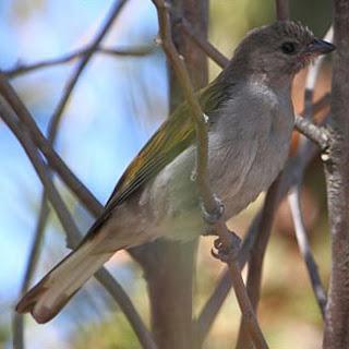 indicador menor Indicator minor aves de Africa