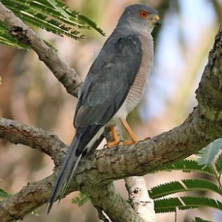 birds in africa Gavilan chikra Accipiter badius