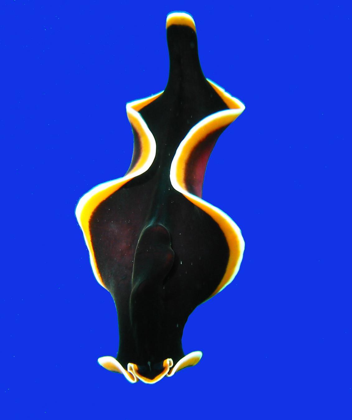 Flatworm Phylum