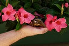 Mrs. Larry enjoys the mandevilla...