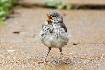 Meet Our Newest Houseguest   warrenharris.net  Newborn Mockingbird