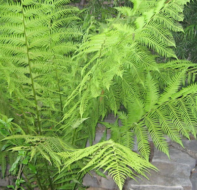 l&l at home:  Australian Fern by lb for (l&l)