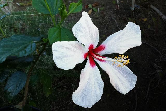 Hibiscus Rosa Sinensis Hibiscus Rosa Sinensis White Versicolor