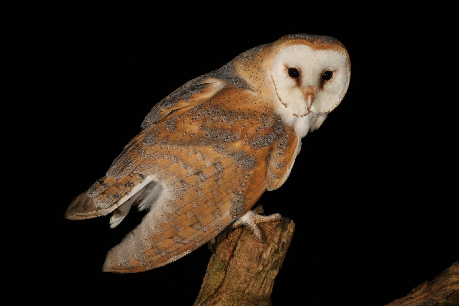 A Day In the Life of a Wildlife Artist: Barn Owl Sighting