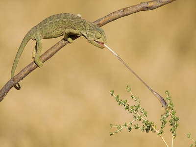 La Chachipedia: Los camaleones