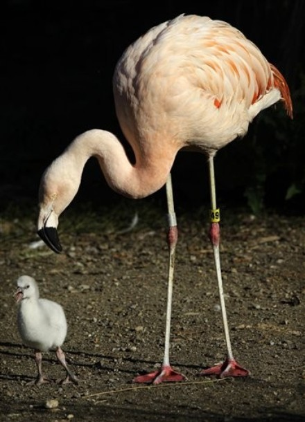 Thaipanda A Baby Chilean Flamingo Walks Near Its Father