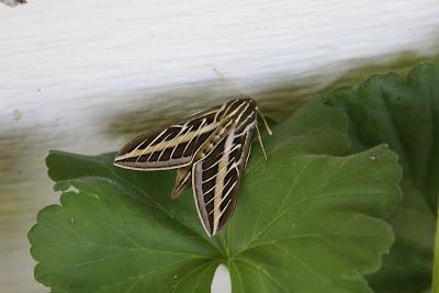 Sphinx Moth, hornworm