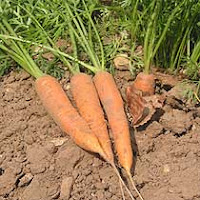 Carrot Disease Management: Learn About Diseases Affecting Carrots