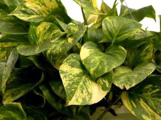 Resultado de imagem para plantas jiboia