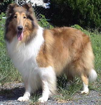Collie Long Haired Dog Popular Dog Breeds