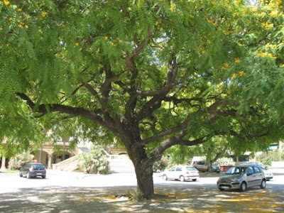 The World S Tree Species Rosewood Tipuana Tipu