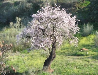 The World S Tree Species Almond Tree Prunus Dulcis