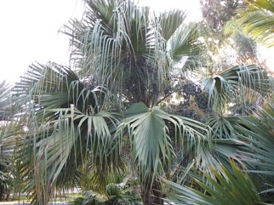 chinese fan palm fruit - photo #43