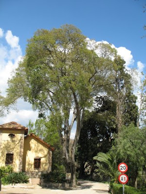 large Celtis australis tree