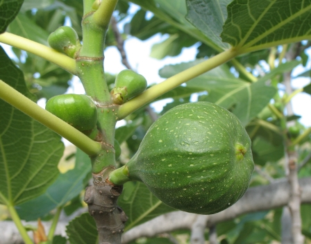 The Worlds Tree Species First Fruits Of The Fig Tree Breva Crop