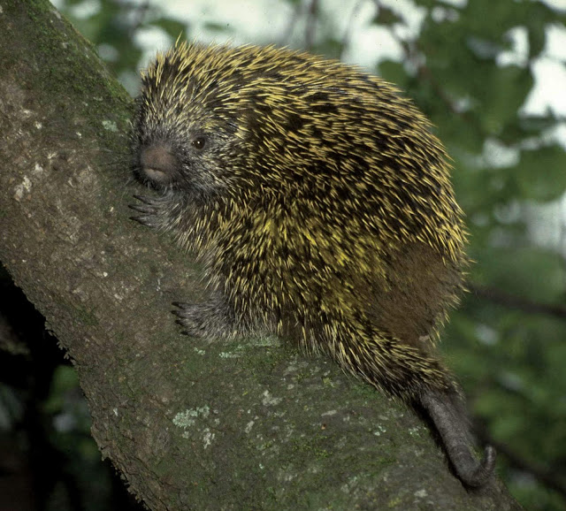 O ouriço-cacheiro - seus espinhos são pelos modificados