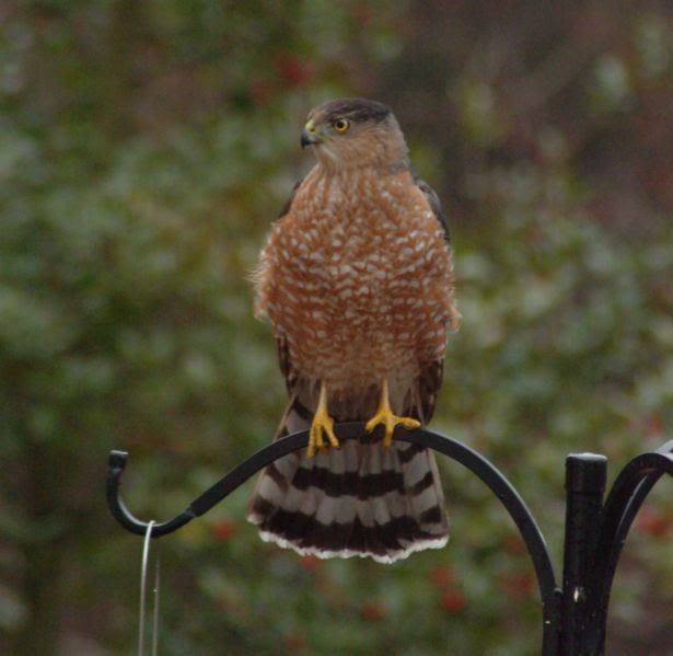 Wild Birds Unlimited Common Michigan Birds I Can See At: Wild Birds Unlimited: How Do You Deter Hawks From Your